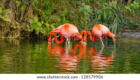 Flamingos and Reflections - stock photo