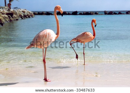Flamingos at a beach of the caribbean island of Aruba