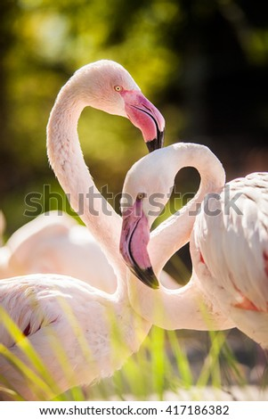 Flamingos close-up