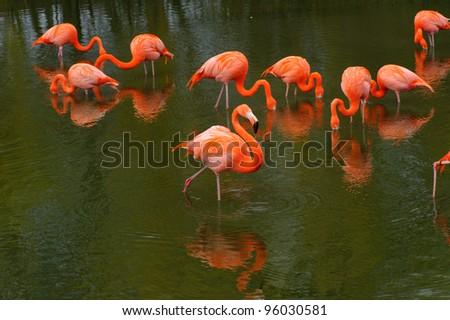 Flamingos feeding in a pool - stock photo