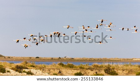 flamingos in Camargue, Provence, France - stock photo