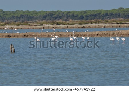 flamingos in the salt marsh of the guadalquivir