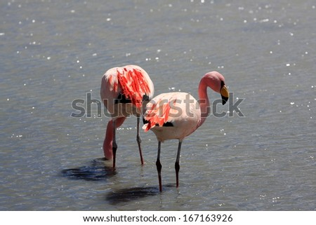 Flamingos on lake, the southern part of Bolivia, South America