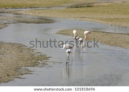 Flamingos on the sea bed during low tide - stock photo