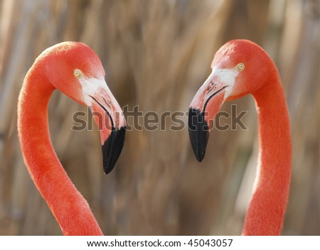 Flamingos pair in love
