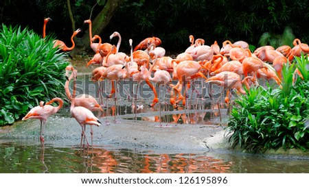 Flamingos wading in a pond