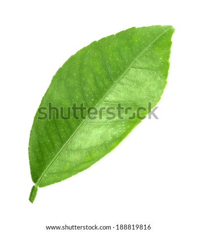 Flat a green leaf of citrus-tree. Isolated on white background. Close-up. Studio photography.