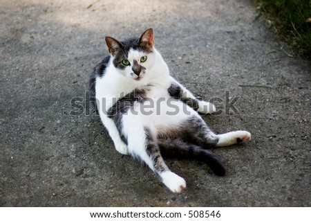 flat cat doing sit ups - stock photo