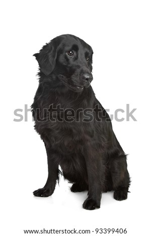 Flat-Coated Retriever in front of a white background - stock photo