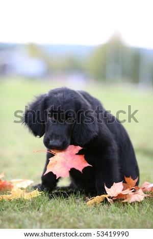 Flat-coated Retriever Puppy - stock photo