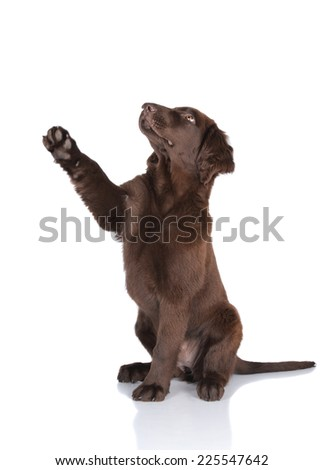 flat coated retriever puppy gives paw - stock photo