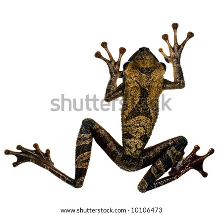 Flat-headed Bromeliad Treefrog (Osteocephalus planiceps) - stock photo
