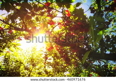 Flathead Valley cherry trees full of ripe fruit glistening in the summer sunlight