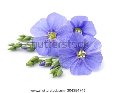 Flax blue flowers close up on white. - stock photo