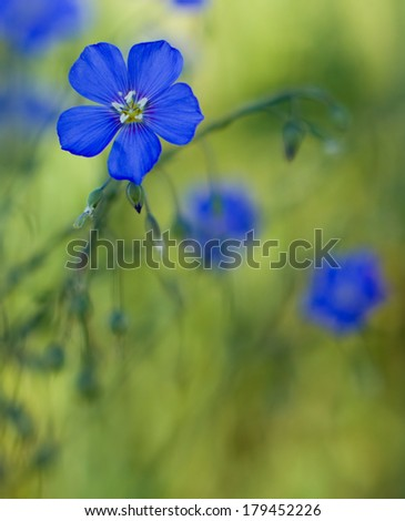 Flax close-up. Selective focus (shallow depth of field). - stock photo