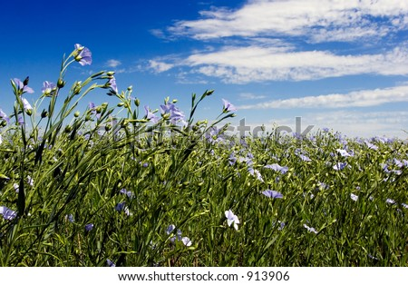 Flax field and blue sky - stock photo