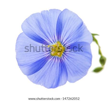 flax flower isolated on white background - stock photo