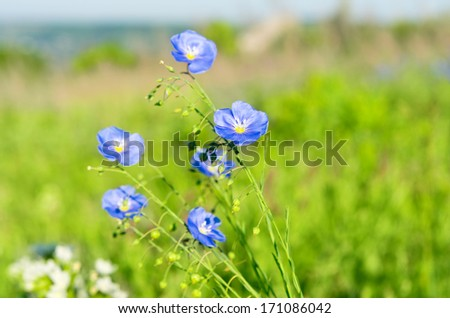 flax flowers blooming in the meadow