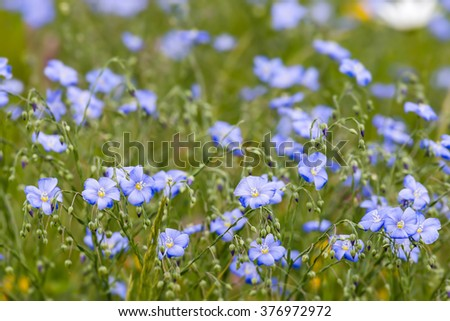 Flax flowers close up on the field at spring - stock photo