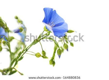 flax flowers isolated on white background - stock photo