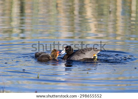 Fledgling American Coot chick drops food his mother has brought him - stock photo