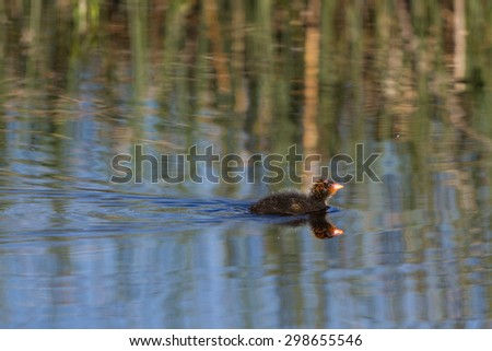 Fledgling American Coot swims in a Colorado marsh - stock photo