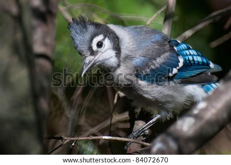 Fledgling Blue Jay - stock photo