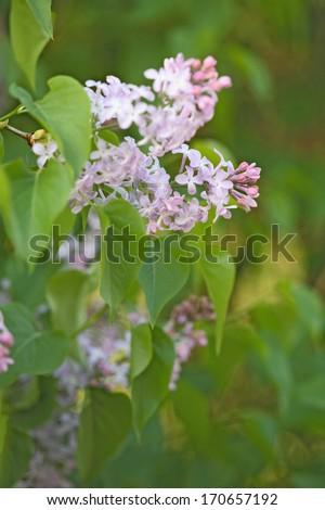 Flieder, Syringa, Lilac, Deutschland, Germany - stock photo