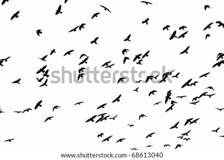 Flight of black birds on a white background - stock photo