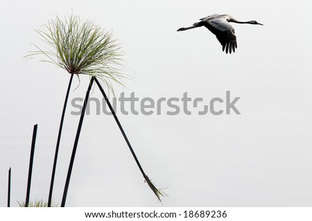 Flight of gray heron in the blue sky.