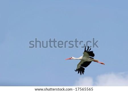 Flight of stork in the blue sky. - stock photo