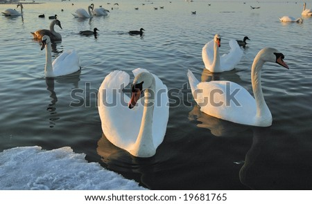 Flight of swans - stock photo