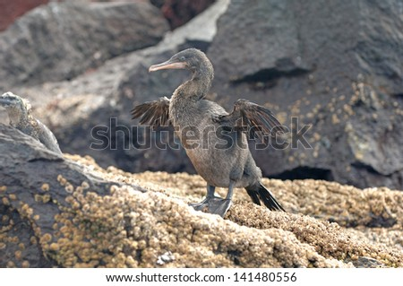 Flightless Cormorant, Isabella Island, Galapagos Islands - stock photo