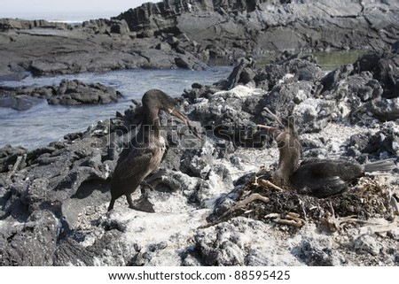 Flightless Cormorant (Phalacrocorax harrisi), mated pair at their nest on Fernandina Island, Galapagos.