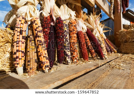 Flint Corn, also known as Indian Corn, Maize, or dried corn is displayed on a wooden wagon bed. - stock photo