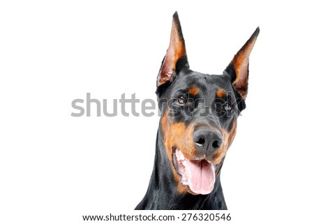 Flirtatious dog. Portrait of dobermann pinscher with opened mouth on white isolated background. - stock photo