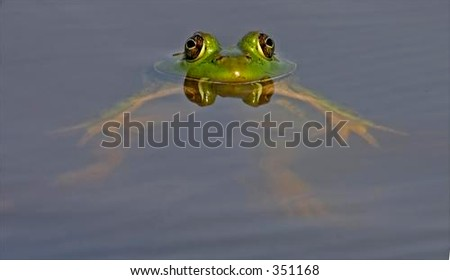 Floating Bull Frog with Eyes Reflected on Calm Water's Surface - stock photo