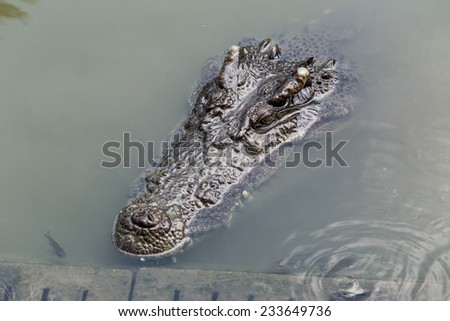 floating crocodile surrounded by fishes - stock photo