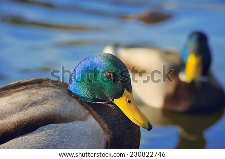 Floating Ducks on Pond - stock photo