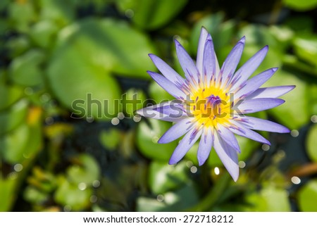 Floating violet water lily on green leaf, Purple lotus blossom - stock photo