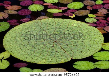 Floating Waterlily Leaves - stock photo