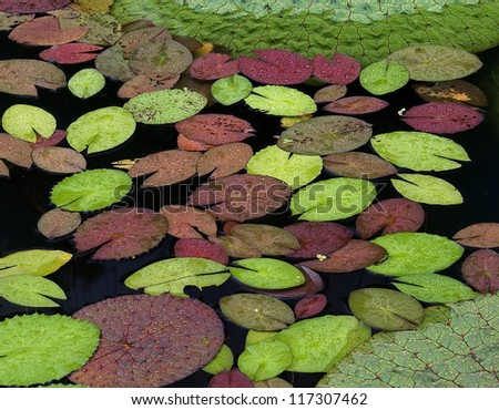 Floating Waterlily Leaves in A Pond - stock photo