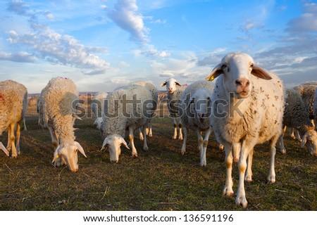 Flock grazing, ecological ranching - stock photo