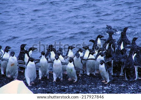 Flock of Adelie penguins, coming out of the water,  (Pygoscelis adeliae) Brown Bluff,Antarctica - stock photo