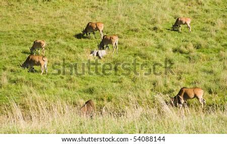Flock of Antelope grazing in summer - stock photo