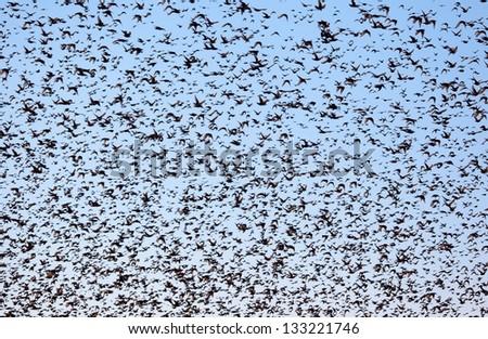 flock of birds - stock photo