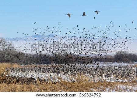 Flock of Birds - Ducks, Snow Geese, Sandhill Cranes and Red-winged blackbirds in the corn field, Bernardo Wildlife Area near Socorro, New Mexico. - stock photo