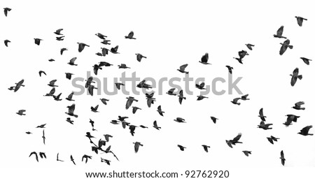 flock of birds isolated on white background (Rook  and Jackdaw) 2
