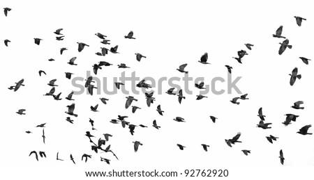 flock of birds isolated on white background (Rook  and Jackdaw) 2 - stock photo