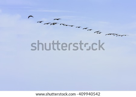 Flock of brown pelicans flying over Padre Island on a sunny afternoon along the Gulf Coast in Texas, for themes of wildlife, leadership, group behavior - stock photo